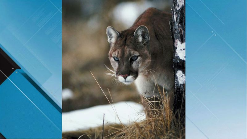 The Idaho Department of Fish and Game have reports of a mountain lion attacking and killing a...
