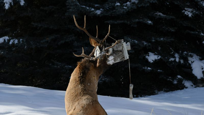 A bull elk became tangled with a swing Monday in a backyard south of Ketchum.