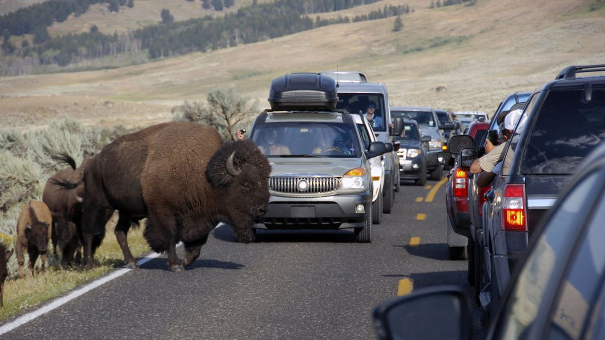 FILE - In this Aug. 3, 2016, file photo, a large bison blocks traffic as tourists take photos of the animals in the Lamar Valley of Yellowstone National Park in Wyo. Park administrators appear to have lost ground on a 2009 pledge to minimize cell phone access in backcountry areas. Signal coverage maps for two of Yellowstone's five cell phone towers show calls can now be received in large swaths of the park's interior such as the picturesque Lamar Valley. The maps were obtained by a Washington, DC-based advocacy group, Public Employees for Environmental Responsibility. (AP Photo/Matthew Brown, File)
