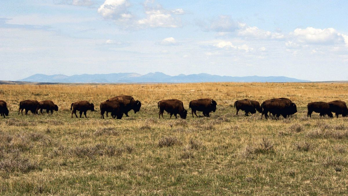 FILE - In this April 25, 2012, file photo, a herd of bison move through land controlled by the...