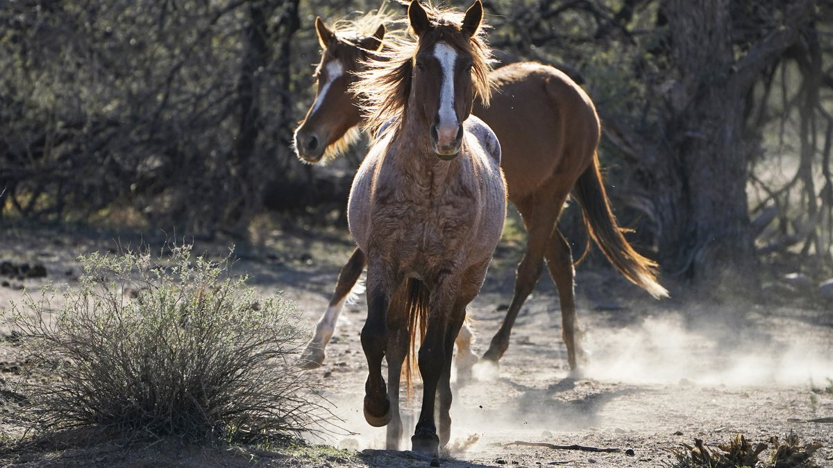 FILE - In this March 10, 2021, file photo, two Salt River wild horses kick up dust as they...