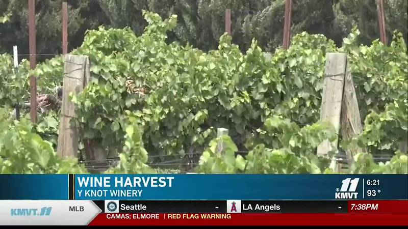 Y Knot Winery says the heat tends to help the wine making process