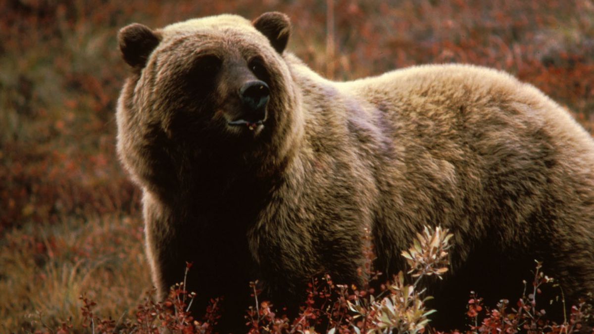Officials: Yellowstone-area grizzly bear deaths up from 2019