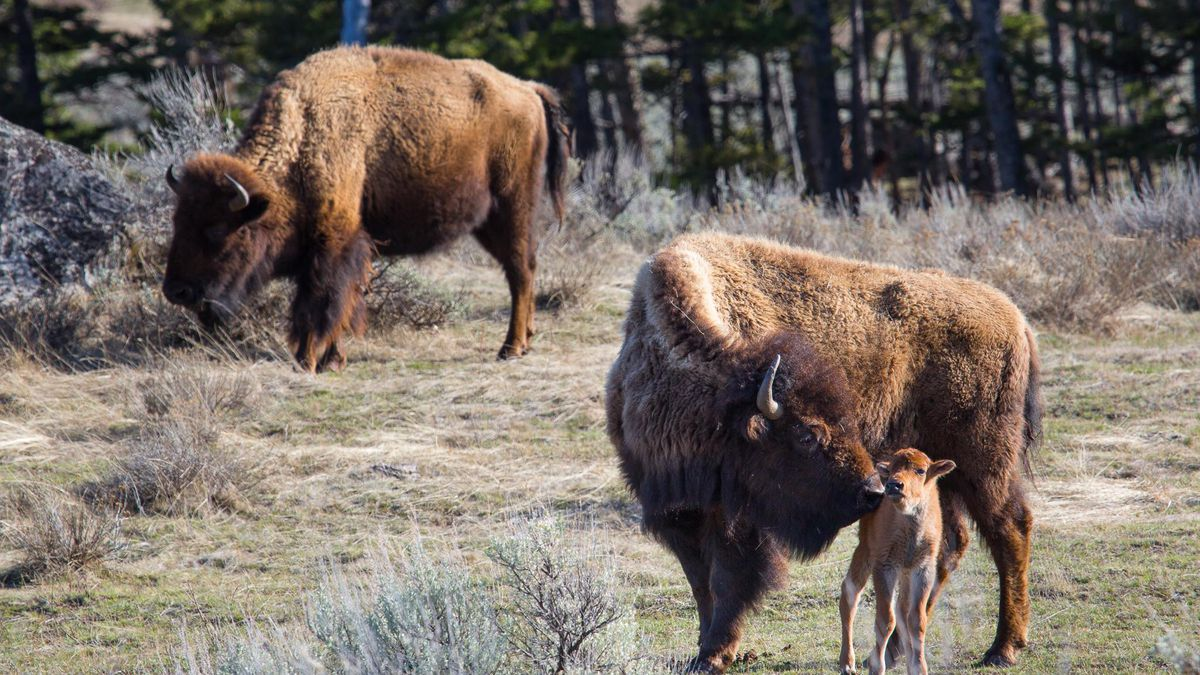 A 72-year-old California woman was gored and injured multiple times by a wild bison at Yellowstone National Park after repeatedly approaching the animal to take its photograph.  (Courtesy: NPS/Neal Herbert)
