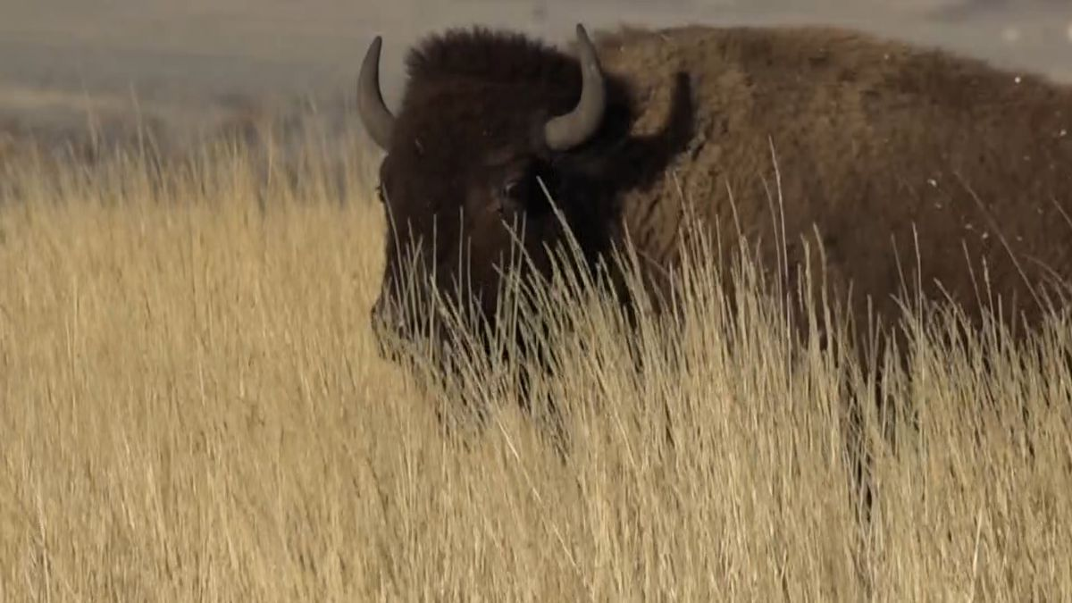 Several local bison ranchers are in Washington lobbying for a new bill aimed to clarify meat product labeling. (Source: KCWY)