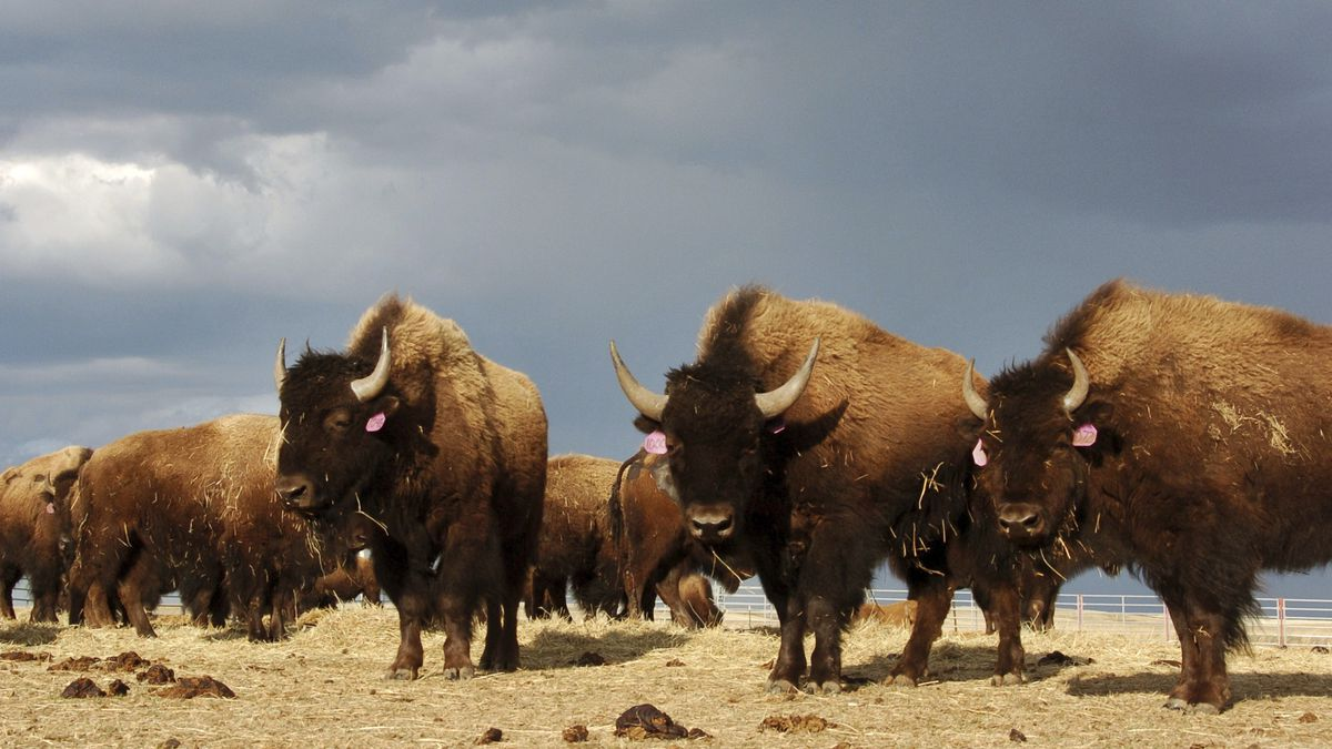 FILE - In an April 24, 2012, file photo, a herd of bison stand in a pen on the Fort Peck...