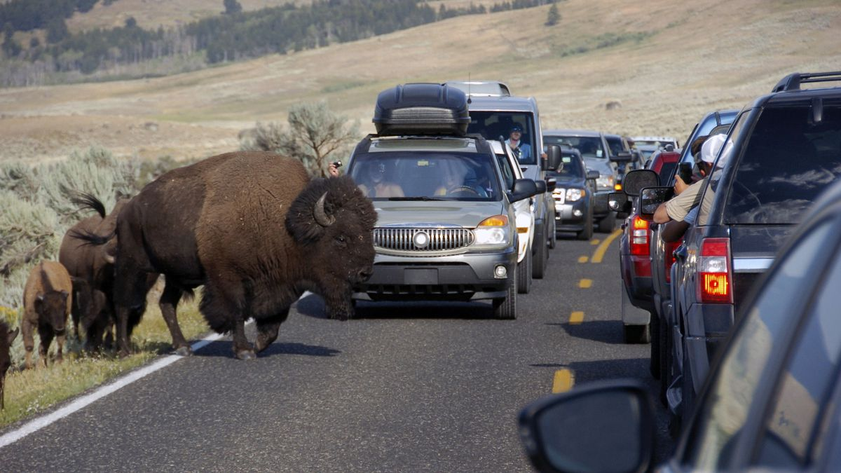 FILE - In this Aug. 3, 2016, file photo, a large bison blocks traffic as tourists take photos...