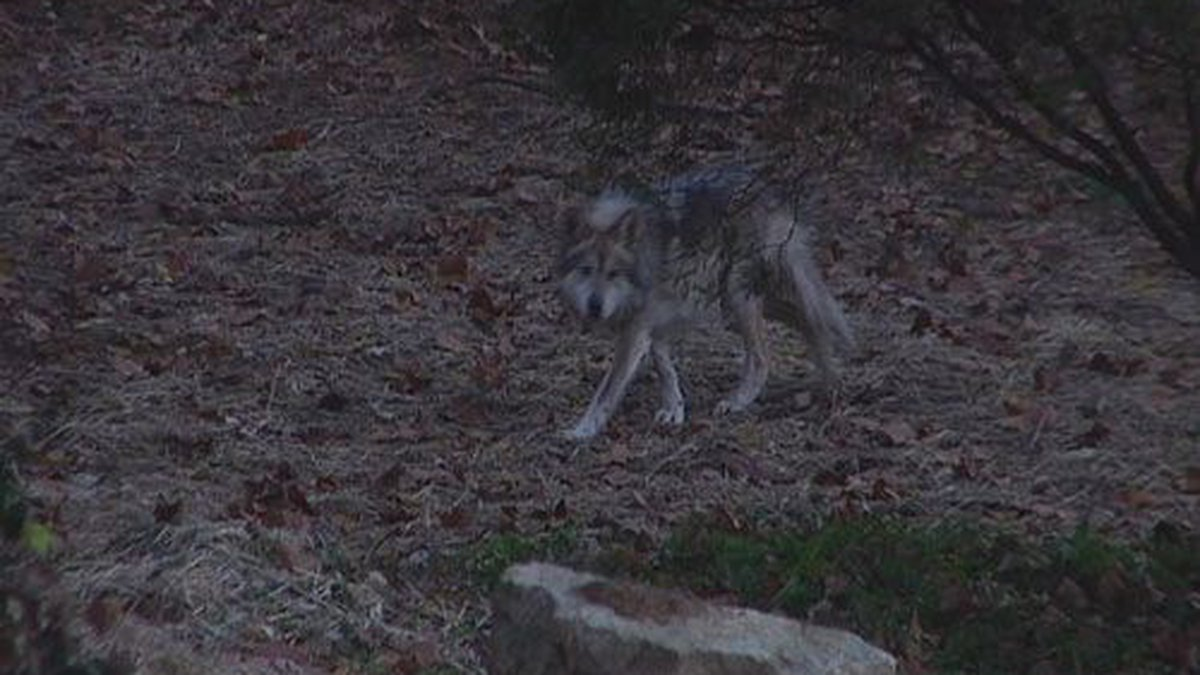 New Wolf Killing Laws in Idaho, Montana Prompt Renewed Push to Restore Wolves' Federal Safeguards