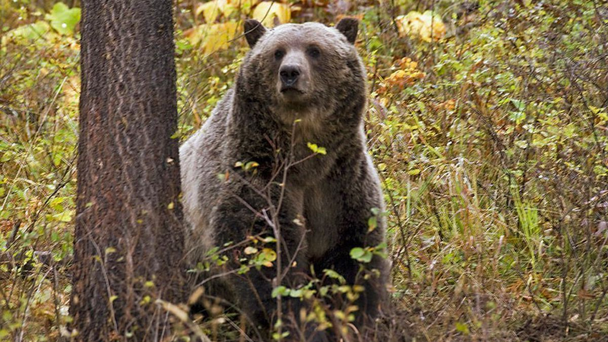 FILE - This undated file photo provided by the Montana Fish, Wildlife and Parks shows a sow...