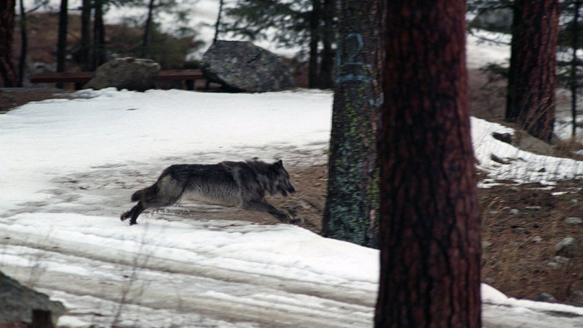 FILE -  In this Jan. 14, 1995, file photo, a wolf leaps across a road into the wilds of central...