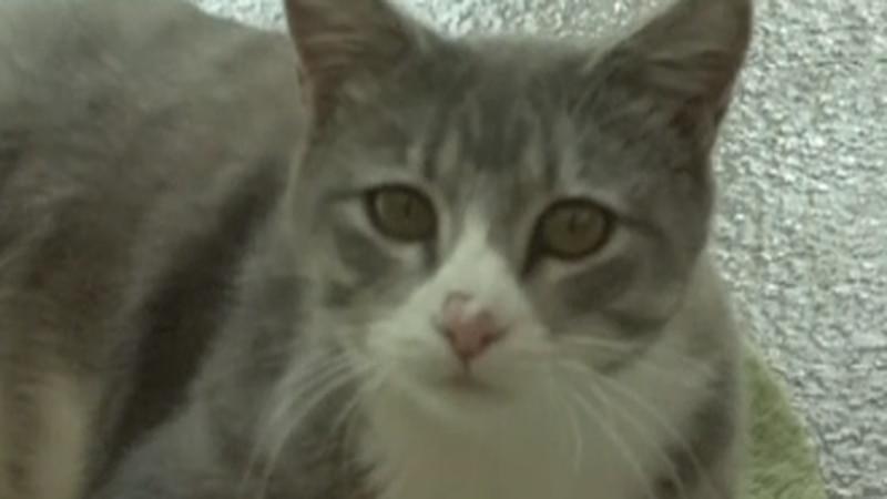 Cat at Mountain Humane