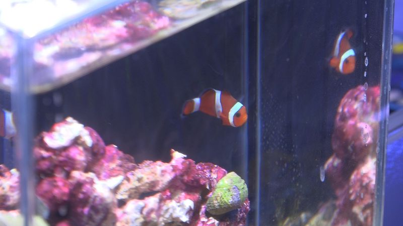 Clown fish in a tank at Epic Corals