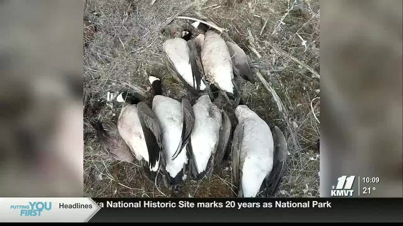 Canada geese were shot and left to waste for the second time this winter along the Snake River...