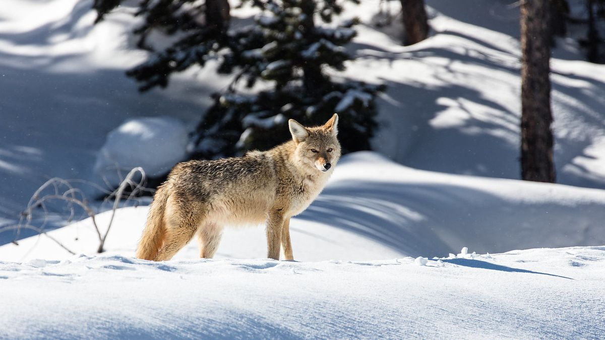 Coyote on Daisy Geyser boardwalk in Yellowstone National Park. Taken on Feb. 11, 2017 (Source:...