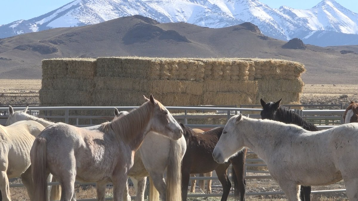The Bureau of Land Management recently concluded a gather operation that rounded up 295 wild...