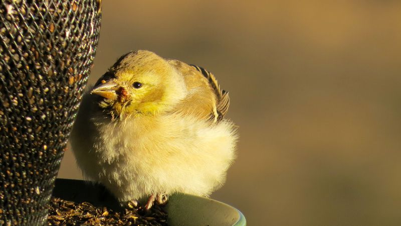 A female American goldfinch showing signs of salmonellosis in the Twin Falls area.