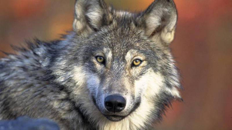 Ranchers debate the effectiveness of non-lethal deterrents on wolves