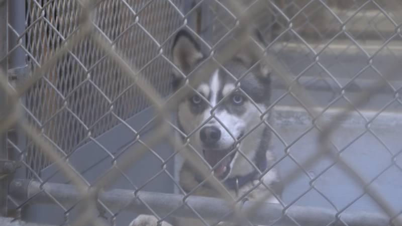 Dog at Jerome Animal Shelter (3/21) KMVT/KSVT