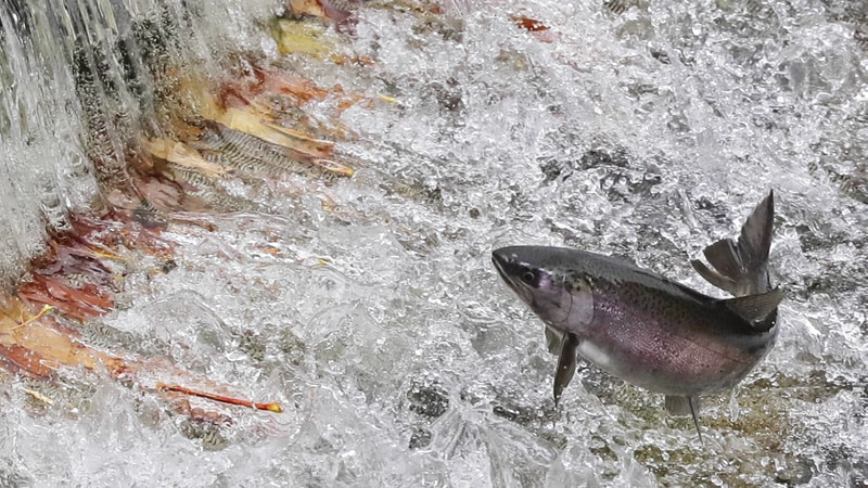 The removal of four dams in Oregon would increase the survival rate of salmon and steelhead...