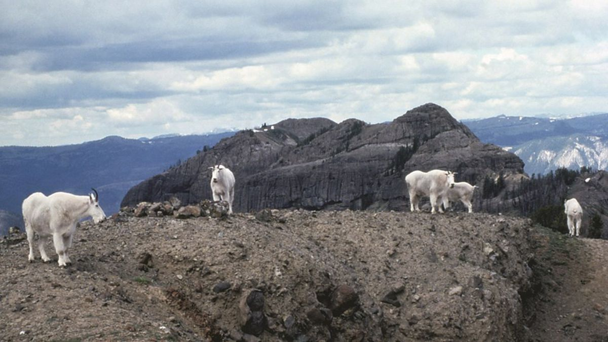 Mountain goats are not native to the Greater Yellowstone Ecosystem.(Source: NPS)