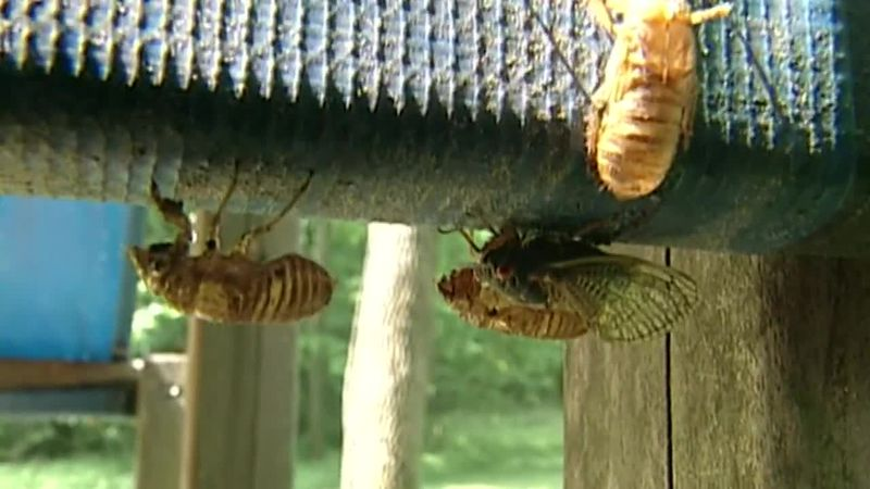 In the United States, there are groups of cicadas that stay underground for either 13 years or...