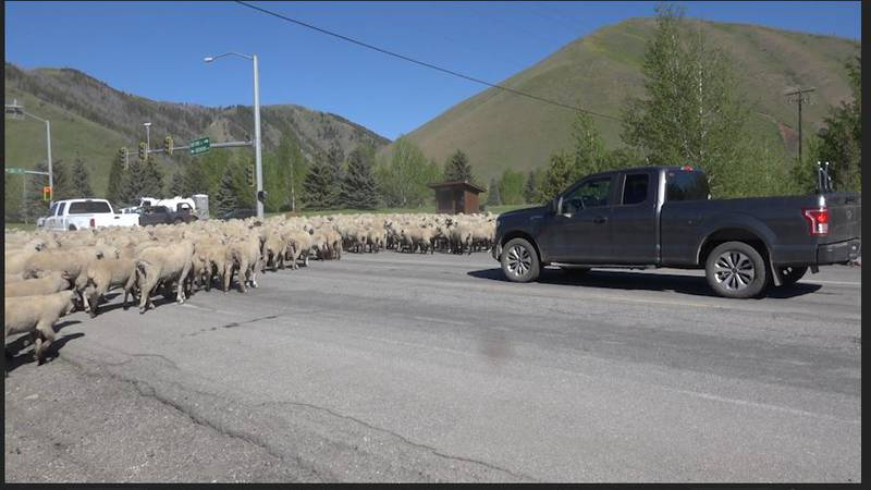 Sheep  start their traditional migration north through the Wood river Valley