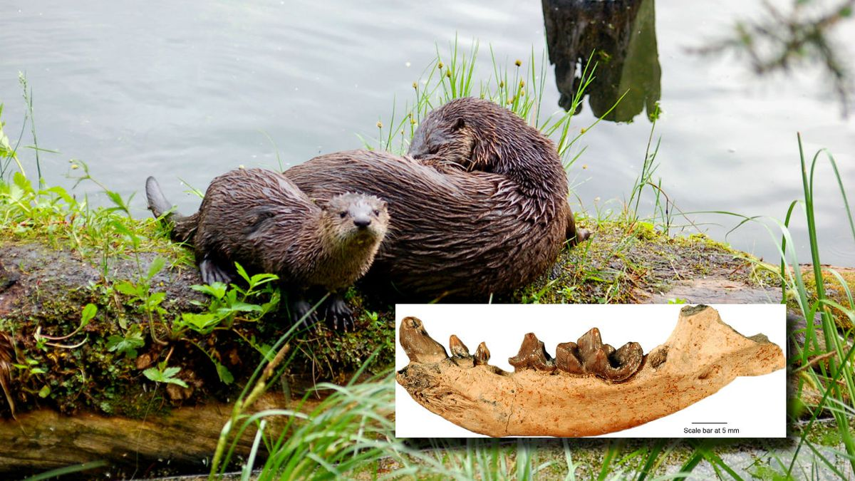 Photos courtesy of the National Park Service. Pictured is a modern otter taken at Yellowstone...