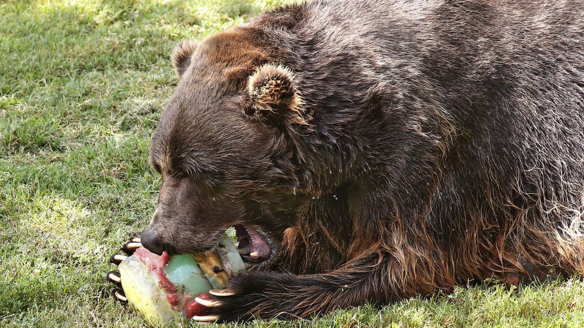 A grizzly bear bites into a frozen treat on a hot day at the Oklahoma City Zoo, Friday, Aug. 7,...