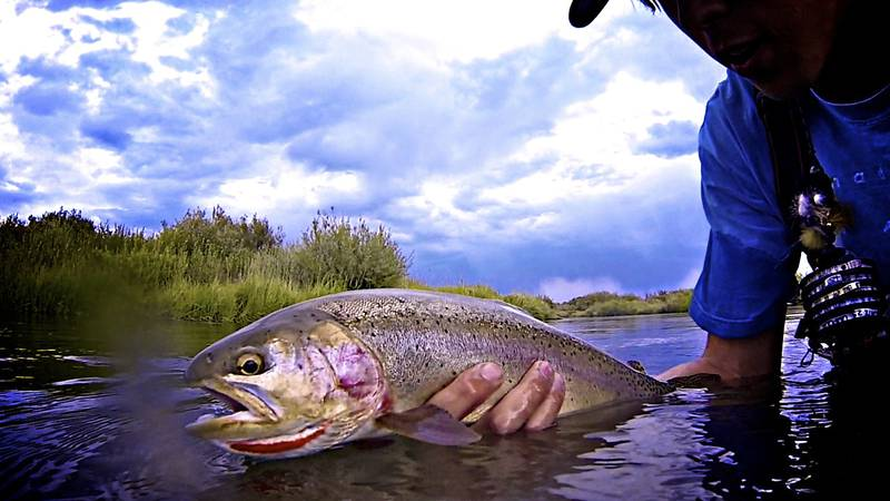 Close-up of a cutbow trout caught in the Silver Creek Preserve, Idaho.  The cutbow is a hybrid...