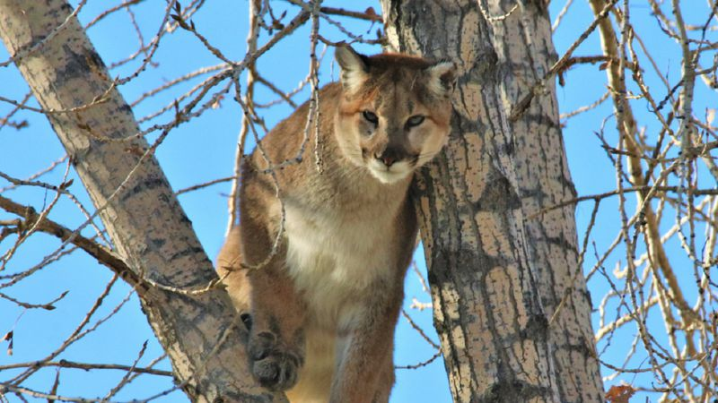 Fish and Game works to educate the public about mountain lions.