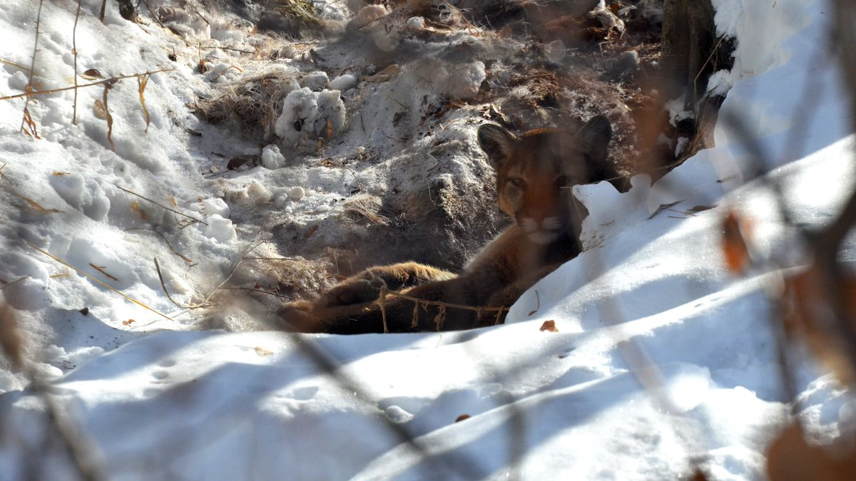 An adult male mountain lion in its day bed behind a Ketchum residence in January 2020.