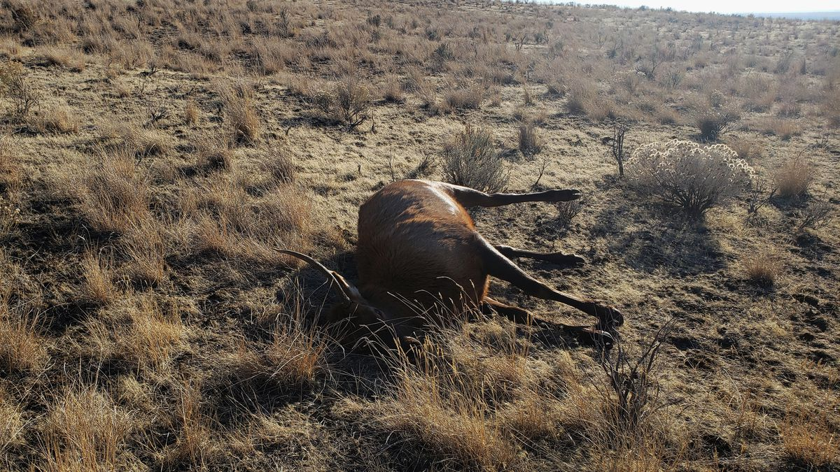 Spike bull elk killed by a poacher and left to waste in Gooding County, north of Bliss.