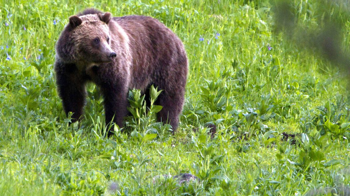 FILE - In this July 6, 2011, file photo, a grizzly bear roams near Beaver Lake in Yellowstone...