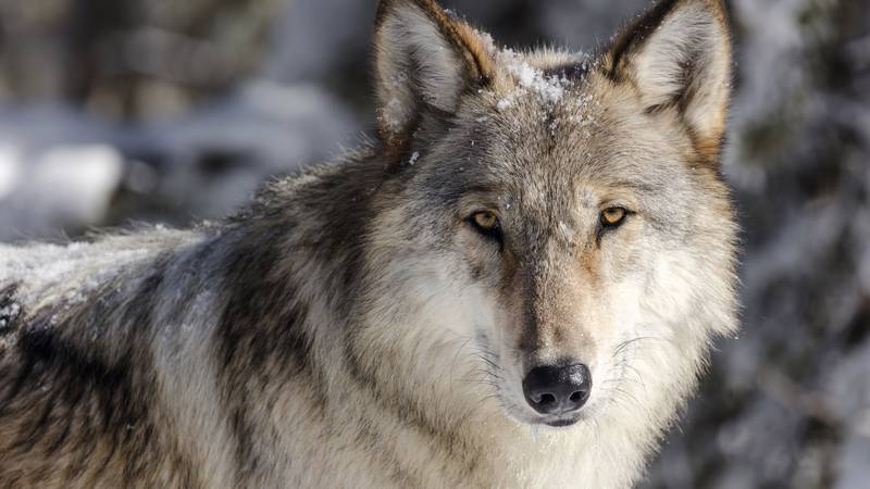 FILE - This Nov. 7, 2017 file photo provided by the National Park Service shows a wolf in...