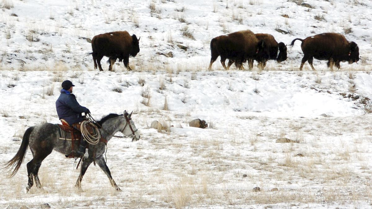 "FILE - In this Jan. 19, 2011, file photo bison from Yellowstone National Park are herded down the Yellowstone River valley toward Cutler Meadow in the Gallatin National Forest, in Mont. Yellowstone National Park officials said in a 2018 briefing paper that they were ordered by then, Secretary of the Interior Ryan Zinke to manage the park's bison ""more actively like cattle on a ranch."" (AP Photo/Matthew Brown, File)"