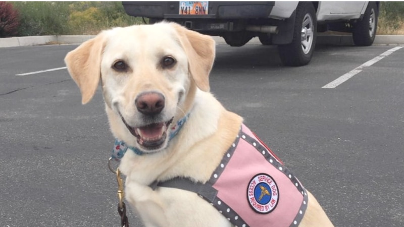 """Cheryl Bloom's Service Dog Fallon aids her by using a technique called """"non-weight bearing..."""