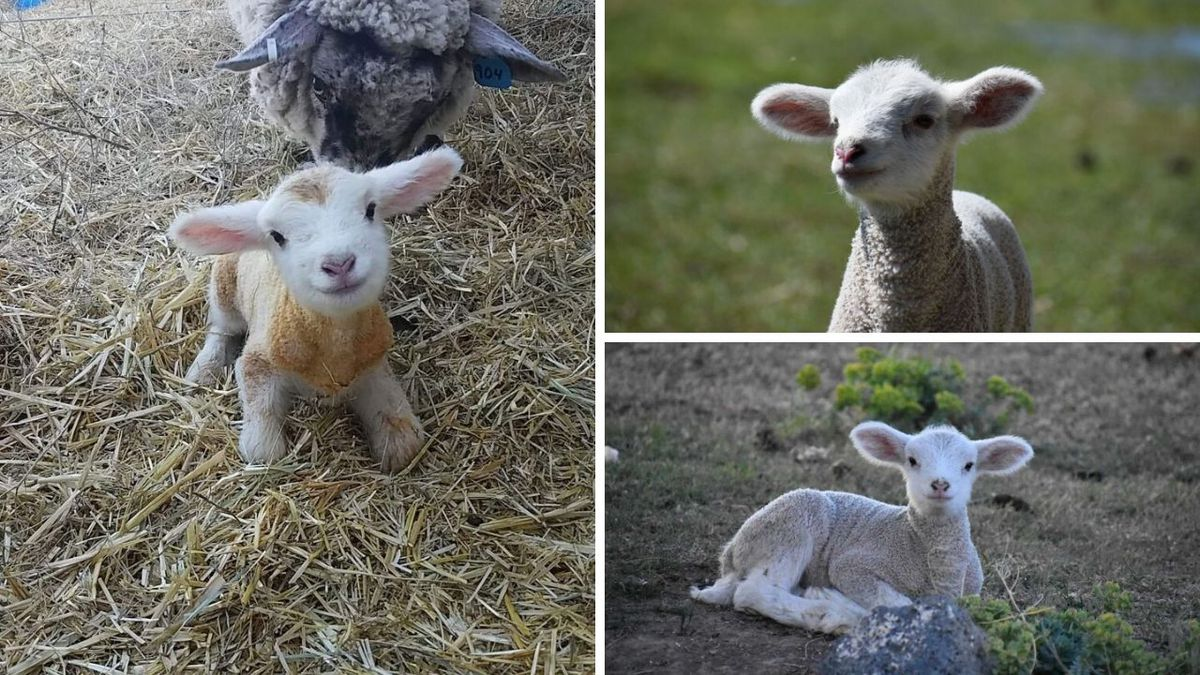 One photo of Bella the baby lamb has been shared on Facebook more than 20k times. (Image...
