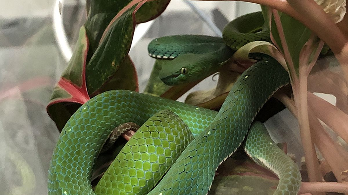 A Vogel's pit viper found in a Boise home. Idaho officials say they have seized 34 venomous snakes from the home of a 25-year-old man in Boise.